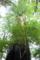 屋久島、ヤクスギランド。千年杉。屋久杉の中ではまだ若いほう。