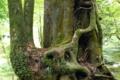 [植物][旅行][屋久島]屋久島、ヤクスギランド。木々は生育を争い、気根を出し、からみあう
