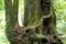 屋久島、ヤクスギランド。木々は生育を争い、気根を出し、からみあう