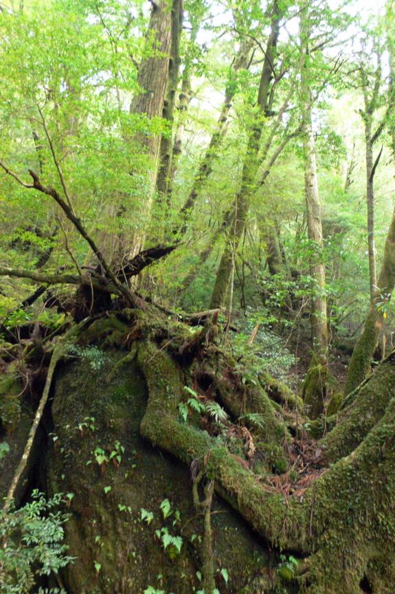 屋久島、ヤクスギランド。岩の上に木々が生育する。岩は苔に覆われる
