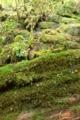 [植物][旅行][屋久島]屋久島、ヤクスギランド。岩が苔に覆われる。苔は水をたっぷり含む。