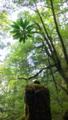 [植物][旅行][屋久島]屋久島、ヤクスギランド。「切株更新」の姿。