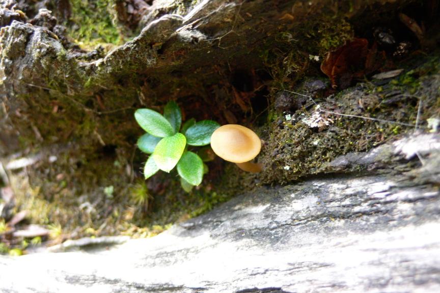 屋久島、紀元杉の根元そばの折れ枝に生えた小さなキノコと、木の芽。