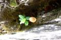[植物][旅行][屋久島]屋久島、紀元杉の根元そばの折れ枝に生えた小さなキノコと、木の芽。