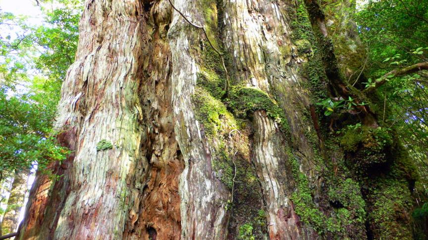 屋久島、紀元杉の幹。