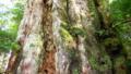 [植物][旅行][屋久島]屋久島、紀元杉の幹。