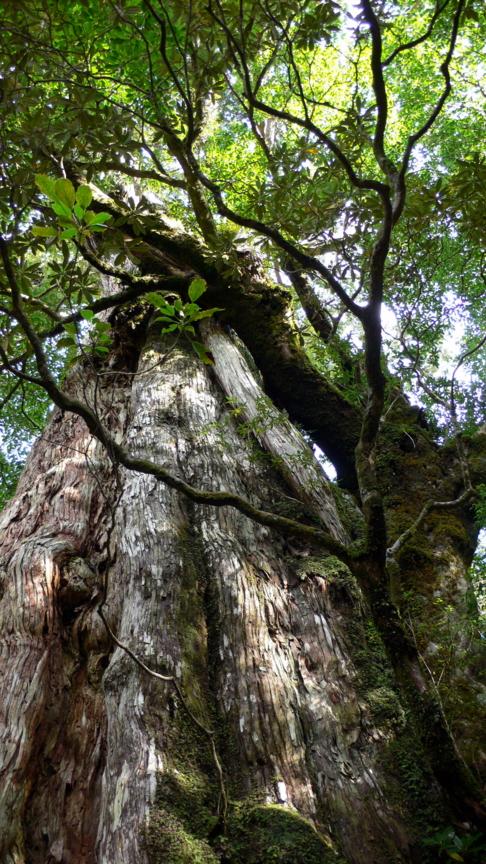 屋久島、紀元杉。多くの着生植物が見てとれる。
