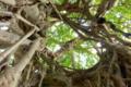 [植物][旅行][屋久島]屋久島、中間のガジュマル。元の樹はガジュマルに絡みつかれ枯れた。
