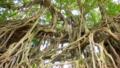[旅行][屋久島][植物]屋久島、中間のガジュマル。アーチ形の巨木。気根が複雑に絡み合う。