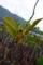 屋久島、栗生川河口のメヒルギの種子。群生地はかなり衰退していた。