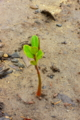 [植物]屋久島、メヒルギの芽。メヒルギは屋久島のマングローブを構成する。