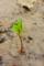 屋久島、メヒルギの芽。メヒルギは屋久島のマングローブを構成する。