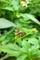 屋久島、シロノセンダングサの痩果。「ひっつき虫」になる。
