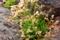 屋久島、塚崎タイドプールにて。イソマツ(イソマツ科)は極小の樹木
