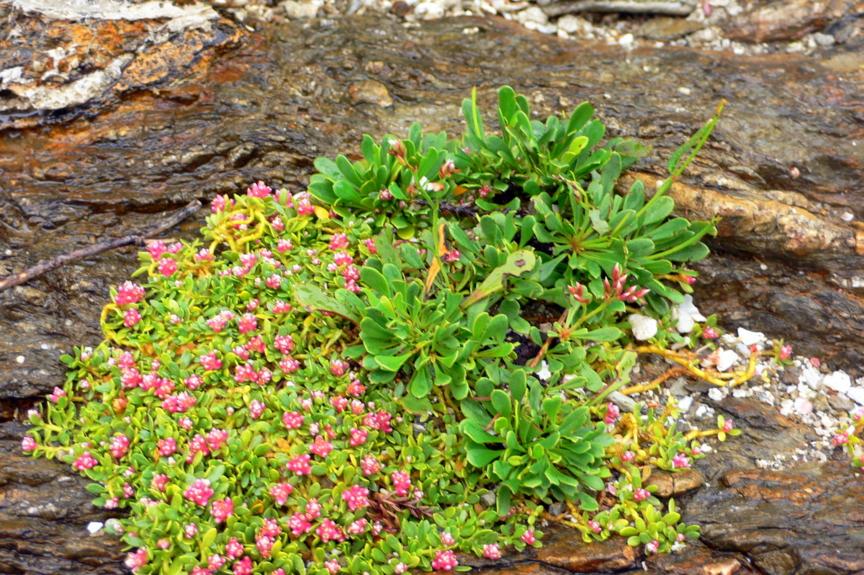 屋久島、塚崎タイドプール。イソマツと、小さな赤い花のイソフサギ
