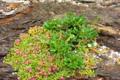 [植物][旅行][屋久島]屋久島、塚崎タイドプール。イソマツと、小さな赤い花のイソフサギ
