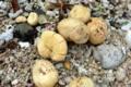 [植物][旅行][屋久島]屋久島、塚崎タイドプール。ハマユウ(ヒガンバナ科)の種子。