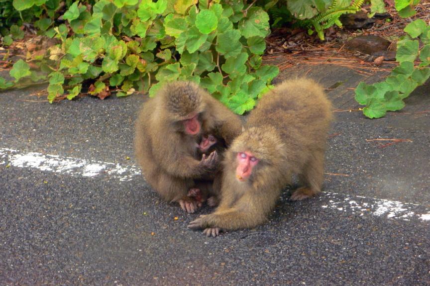 屋久島、県道にいたヤクザルを車中から。子ザルは乳房をくわえている