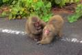 [動物][旅行][屋久島]屋久島、県道にいたヤクザルを車中から。子ザルは乳房をくわえている