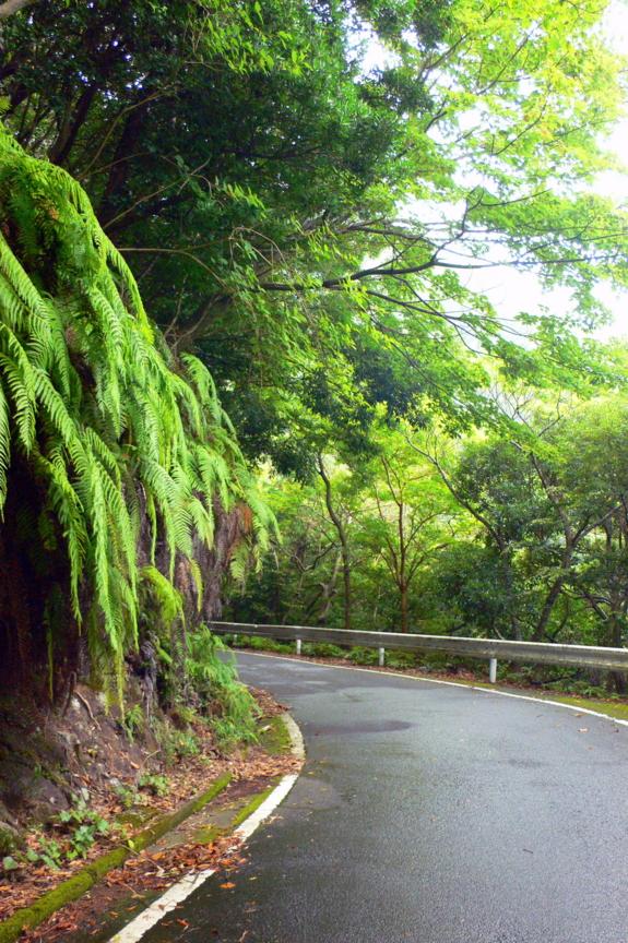 屋久島、西部林道。シダ(ウラジロ)が垂れ下がる。