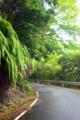 [植物][旅行][屋久島]屋久島、西部林道。シダ(ウラジロ)が垂れ下がる。