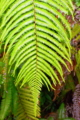 [植物][旅行][屋久島]屋久島、西部林道にて。正月飾りのシダ「ウラジロ」。屋久島では巨大