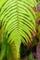 屋久島、西部林道にて。正月飾りのシダ「ウラジロ」。屋久島では巨大