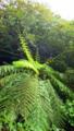 [植物][旅行][屋久島]屋久島、西部林道にて。自生するヘゴ。