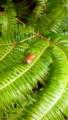 [旅行][屋久島][植物]屋久島、西部林道。シダを這うカタツムリ。