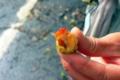 [植物][動物][旅行][屋久島]屋久島、西部林道にて。直前に出会ったヤクザルの食べ残し。