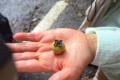[旅行][屋久島][植物]屋久島、西部林道。ヤクザルが食べていた実(ヤクシママメガキ?)