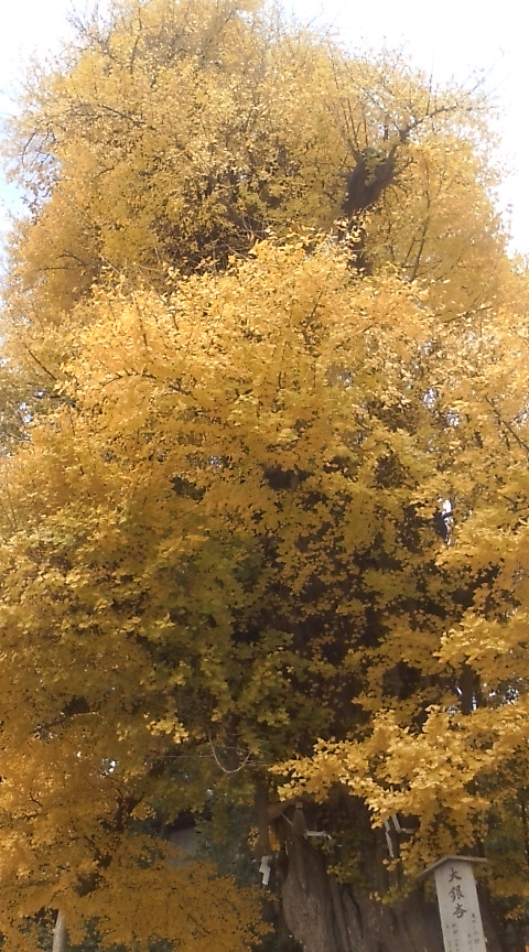 鎌倉 鶴岡八幡宮の大銀杏