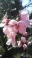 [植物]桃の花