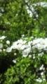 [植物]雪柳。きれいな五弁の花。