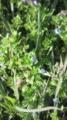[植物]田んぼの畦道に咲いていたオオイヌノフグリ