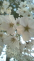 [植物][サクラ]桜