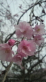 [植物][サクラ]しだれ桜
