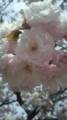 [植物][サクラ] 八重桜