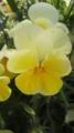 [植物]ヴィオラ