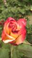 [植物]開きかけの薔薇