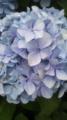 [植物] アジサイも花盛り