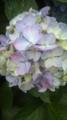 [植物]アジサイ。シジミ蝶が集まってるみたい。