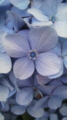 [植物]アジサイの花