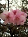 [サクラ][植物]早咲きの桜