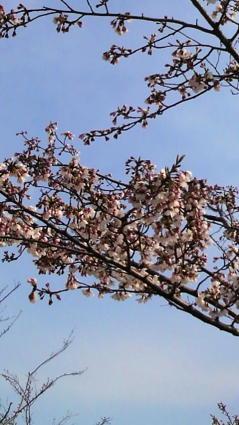 桜の植わった公園。全体では二分咲きくらいだった。
