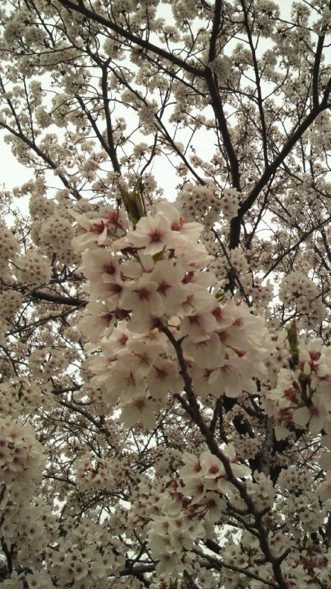 だいぶん散ってしまった中で、この桜はまだ満開だった。