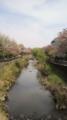 [サクラ]横浜市栄区、いたち川の春。桜花と若葉の柔らかな色合いが目に優しい