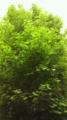[植物]イチョウの若葉