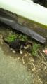 [旅行]西浦から参道に戻る途中、江の島の猫とすれ違う。