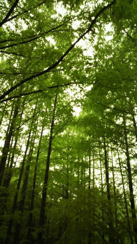 生田緑地、メタセコイアの林